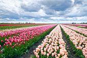 Dutch Tulip Fields In Spring