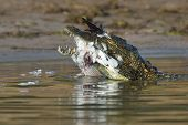 Crocodile with bird prey