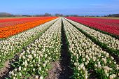 Red, White, Orange Tulips On Dutch Fields