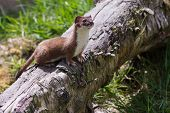 image of ermine  - Stoat (Mustela erminea) standing on a log side profile