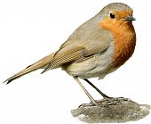 A cut-out of a eurasian Robin (Erithacus rubecula).