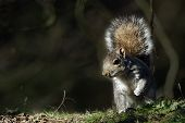 A Grey Squirrel (Sciurus carolinensis) caught in a shaft of sunlight.