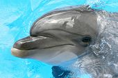 stock photo of grampus  - one smile dolphin smiling in the   pool - JPG