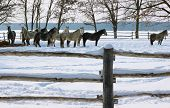 stock photo of lipizzaner  - Horses in snow - JPG