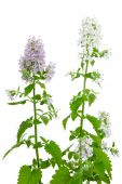 stock photo of catnip  - Flowering Catnip Plant Nepeta cataria isolated on white background - JPG