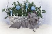 Two Months Old Thai Ridgeback Puppy With Christmas Basket