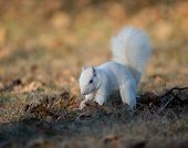White Squirrel Burying Nuts