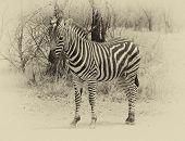 Heathy And Proud Zebra. Sepia Image.