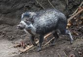 The Visayan Warty Pig, Sus Cebifrons