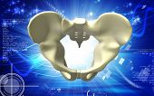 pic of girdle  - Digital illustration  of pelvic girdle in    colour background - JPG