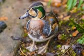 stock photo of crested duck  - The Baikal Teal  - JPG