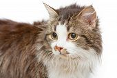 pic of tabby cat  - Sad cat with yellow eyes on white islated background - JPG