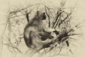 picture of bosveld  - Sepia Toned Pictured of a Vervet Monkey in a Tree in a Tree - JPG