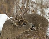 Large Buck eating leaves