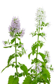 stock photo of catnip  - Flowering Catnip Plant Nepeta cataria isolated on white background - JPG