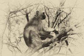 pic of bosveld  - Sepia Toned Pictured of a Vervet Monkey in a Tree in a Tree - JPG