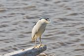 Watchful Black-crowned Night Heron
