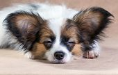 Portrait Of A Sleeping Puppy Papillon