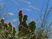 Cactus Blossoms and Blue Sky