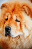 picture of chow  - Red Chinese chow chow dog close up portrait - JPG