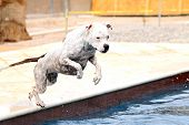 Dog jumping off the side of the pool