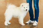 White Samoyed Dog Puppy