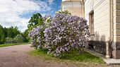 stock photo of lilac bush  - Lilac bush next to building in spring - JPG