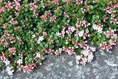Sand myrtle flowers closeup macro