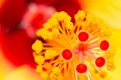 Yellow red hibiscus macro