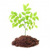 Tree growing in a soil isolated on a white background.