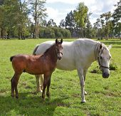 White horse with the bay foal. Riding school and breeding of thoroughbred horses. Green lawn for walking of Arabian horses