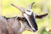 image of billy goat  - Closeup portrait of a goat in farm - JPG