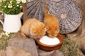 Cute little red kittens drinking milk on barn wall background
