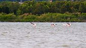 Flamingos flying in Sardinia