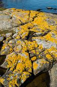 stock photo of lichenes  - Xanthoria parietina a foliose or leafy lichen also known as golden shield lichen common orange lichen yellow scale maritime sunburst lichen and shore lichen - JPG