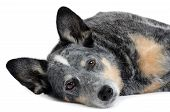 Still Dog