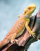 Yellow Bearded Dragon