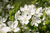 flowers of the apple-tree
