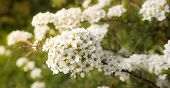 foto of meadowsweet  - Delicate blossoms Spirea Vangutta - JPG