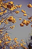 Yellow Silk Cotton Flowers And  Sky Background  With Vintage Filter