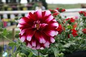 Red and White Dahlia