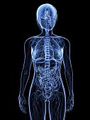 female anatomy - x-ray