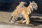 One young tiger runs after the other