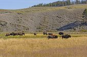 picture of grassland  - Bison on the Grasslands in the Hayden Valley in Yellowstone National Park - JPG