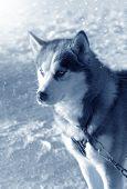 Dog Siberian Husky On Snow