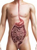3d rendered medical illustration of a healthy digestive system