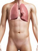 3d rendered medical illustration of a healthy male lung
