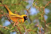 Yellow Weaver - African Wild Bird Background - Posing Gold