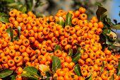 The orange berries of Pyracantha