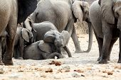A Herd Of African Elephants, Small Elephant Playing